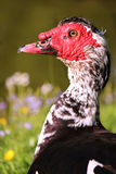 Muscovy duck close up Stock Photo