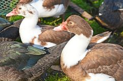 Muscovy duck closeup Royalty Free Stock Photography