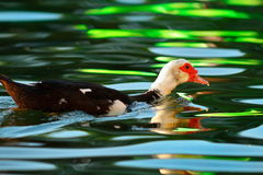 Muscovy duck on colorful pond Stock Images