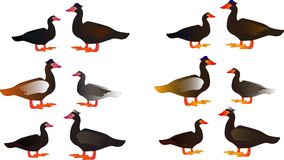 Muscovy duck decorative stickers Royalty Free Stock Photography