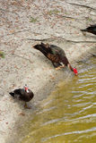 Muscovy duck is drinking water Stock Photo