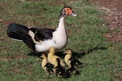 Muscovy Duck and Ducklings Royalty Free Stock Photos