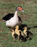 Muscovy Duck and Ducklings. Protective Muscovy duck and her cute little ducklings stock photo