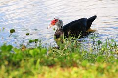 Muscovy duck and ducklings Royalty Free Stock Images