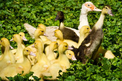 Muscovy duck with ducklings Royalty Free Stock Photo