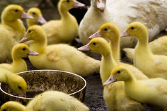 Muscovy duck with ducklings Royalty Free Stock Image