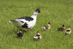 Muscovy duck with ducklings Stock Photography