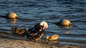 Muscovy Duck With Ducklings, Lake at The Hammocks, Kendall, Flor Stock Photos