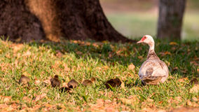 Muscovy Duck With Ducklings, Lake at The Hammocks, Kendall, Flor Royalty Free Stock Images