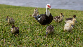 Muscovy Duck With Ducklings, Lake at The Hammocks, Kendall, Flor Stock Photography