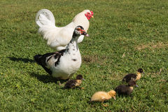 Muscovy duck with ducklings Royalty Free Stock Photos