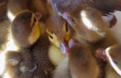 Muscovy duck ducks in hay. And sunlight  offspring village grass meadow Stock Photos