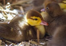Muscovy duck ducks in hay. And sunlight  offspring village grass meadow Royalty Free Stock Image