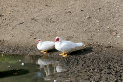 Muscovy duck enjoying by the water rural scene Royalty Free Stock Photos