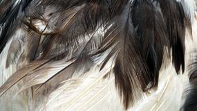 Muscovy Duck feathers (Cairina moschata) Stock Photo