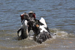 Muscovy duck fight Stock Photo