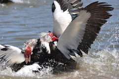 Muscovy duck fight Royalty Free Stock Image