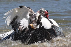 Muscovy duck fight Royalty Free Stock Images
