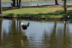 Muscovy Duck Flying Across a Pond on Sunny Day stock photo