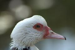 Muscovy duck head Royalty Free Stock Photos