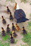 Muscovy duck hen with ducklings go in the poultry. Muscovy duck hen with amusing ducklings go in the poultry stock photography