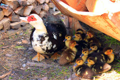 Muscovy duck hen with ducklings in the poultry. Muscovy duck hen with amusing ducklings in the poultry stock images