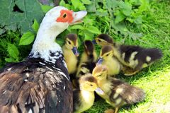 Muscovy duck hen its with ducklings in the poultry. Muscovy duck hen with its amusing ducklings going on the grass in the poultry royalty free stock photo