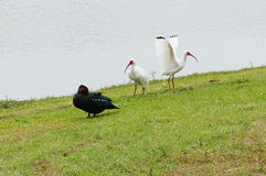 Muscovy duck and ibis Stock Photo