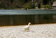 Muscovy duck Royalty Free Stock Photos