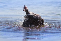 Muscovy Duck in the lake Stock Photo