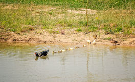 Muscovy Duck Leading gli anatroccoli Fotografia Stock