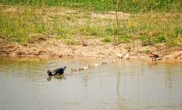 Muscovy Duck Leading los anadones fotografía de archivo