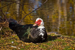 Muscovy Duck Looking Around Royalty Free Stock Photography
