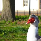 Muscovy Duck. This is a picture of the head and neck of a muscovy duck. It shows the duck's characteristic red face and wattle. This picture was taken in Ely Stock Photo