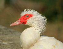 Muscovy duck portrait Royalty Free Stock Photos