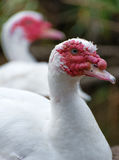 Muscovy duck. Stock Photos