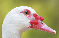 Muscovy duck. Royalty Free Stock Image