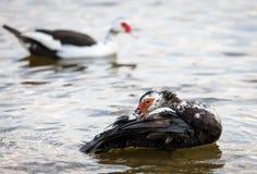 Muscovy Duck Preening stock afbeeldingen