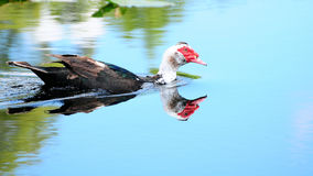 Muscovy Duck Reflection Stock Photos