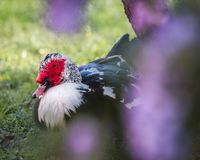 Muscovy Duck Resting Under Wisteria Flowers stock foto's