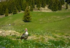 Muscovy duck roaming on the grass Royalty Free Stock Photos