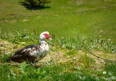 Muscovy duck roaming on the grass Royalty Free Stock Image