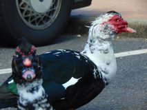 Muscovy Duck in Spring Time. Cohanzick Zoo, Bridgeton, New Jersey; oldest zoo in NJ; first zoo in NJ Stock Images