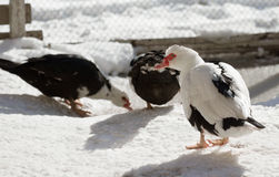 Muscovy duck standing on the snow Royalty Free Stock Image
