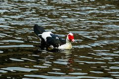 Muscovy Duck Swimming royalty-vrije stock fotografie