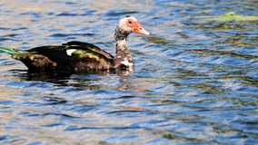 Muscovy duck swimming Stock Photo