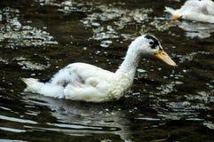 Muscovy Duck Swimming Fotos de archivo