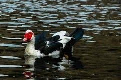Muscovy Duck Swimming Fotografía de archivo libre de regalías