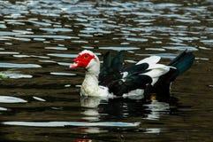 Muscovy Duck Swimming Stock Afbeeldingen