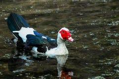 Muscovy Duck Swimming Royalty-vrije Stock Afbeeldingen